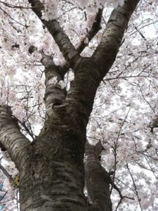 Spring in Korea: Cherry Blossoms